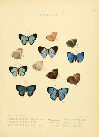 Olynthus (butterfly) - Figs. 209, 210 Olynthus ophelia (Hewitson, 1867).