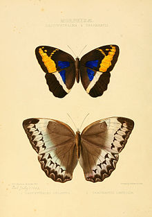 Illustrations of new species of exotic butterflies Dasyophthalma & Thaumantis.jpg