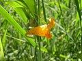 Impatiens capensis-8-14-05.jpg