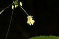 Impatiens parviflora (36527169076).jpg