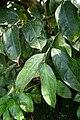 Impatiens paucidentata-Jardin botanique Meise.jpg