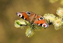 Inachis io on Salix caprea.jpg