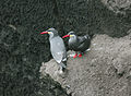 Inca Tern pair (Larosterna inca) (4856308189).jpg