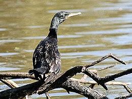 Indian Cormorant I2