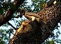 Indian Grey Hornbill Ocyceros birostris 5 by Raju Kasambe (2).jpg