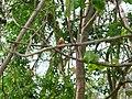 Indian Pitta - Pitta brachyura - P1040285.jpg