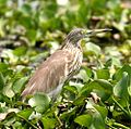 Indian Pond Heron (Ardeola grayii) 22-Mar-2007 10-17-49 AM.JPG
