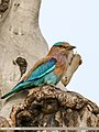 Indian Roller (Coracias benghalensis) (43095895011).jpg