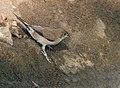 Indian Silverbills (Lonchura malabarica) at Sindhrot near Vadodara, Gujrat Pix 129.jpg