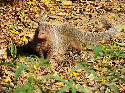 Indian grey mongoose.jpg