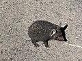 Indian long-eared hedgehog in Gujarat.jpg