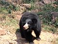 Indira Gandhi Zoological Park, Bear.jpg