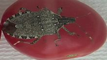 File:Insights-into-the-Saliva-of-the-Brown-Marmorated-Stink-Bug-Halyomorpha-halys-(Hemiptera-pone.0088483.s005.ogv
