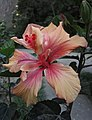 Interesting hibiscus (6229240426).jpg