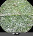 Inula britannica sl9.jpg
