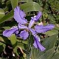 Iris milesii - Fleur.jpg