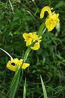 Iris pseudacorus PID1325-1.jpg