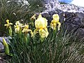 Iris reichenbachii - bosanska perunika.jpg