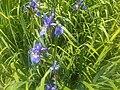 Iris sibirica, Isle of Wight, England - 20110429.jpg