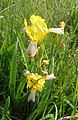 Iris variegata flower in bukk hungary.jpg