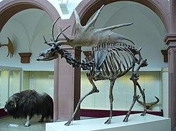 Squelette fossilisé de mégalocéros, dans un musée