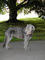 Irish Wolfhound 2.jpg