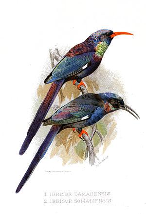 Violet wood hoopoe - Illustration (above) with black-billed wood hoopoe (below)