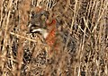 Island Fox on Santa Cruz Island (31635537581).jpg