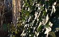 Ivy on Wall (4064890971).jpg