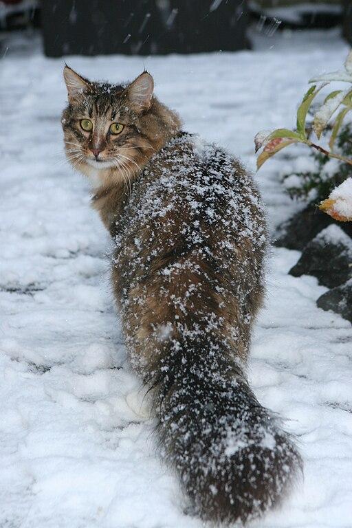 chat angora noir à DONNER