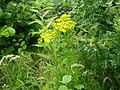 Jacobaea vulgaris 0.11 R.jpg