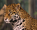 Jaguar head shot NR edit02.jpg
