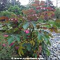 Jamalgota-Croton-Tiglium-Fruits 02.jpg