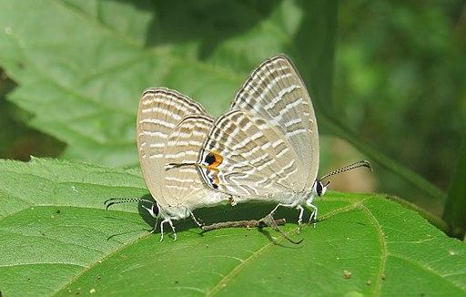 Jamides celeno Cramer, 1775 – Common Cerulean mating - Blathur (1)