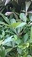 Jeune plante d'un fromager - Ceiba pentandra.jpg