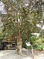 Jf5933Lubao San Nicolas Chrysophyllum cainito Pampangafvf 05.JPG