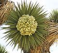 Joshua-tree Yucca brevifolia buds frontView.jpg
