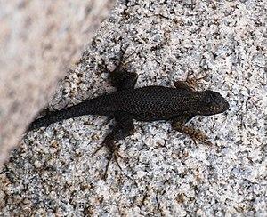 Sceloporus occidentalis longipes - Image: Joshua Tree National Park Great Basin fence lizard 04