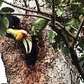 Julang Emas - Hornbill.jpg