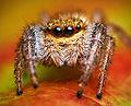 Jumping spider - Marpissa radiata - Photo by Lukas Jonaitis.jpg