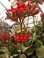 Kalanchoe أزهار الكلانشو.jpg