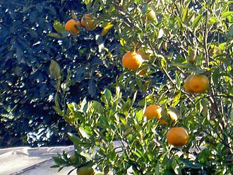 Kalimpong - Oranges grown in the hillsides are exported to many parts of India.