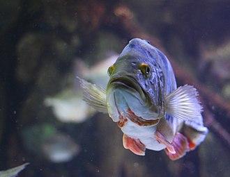 Peacock bass - Cichla monoculus