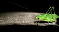 Katydid profile (6010428391).png