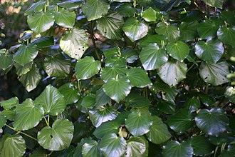 Piper excelsum - Image: Kawakawa 877
