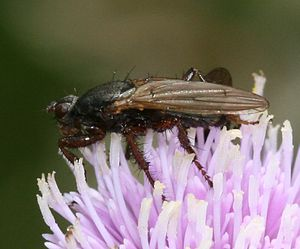 Coelopa frigida - Image: Kelp Fly (Coelopa)