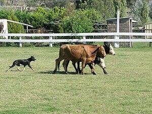 An Australian Kelpie working cattle, Woolbrook...