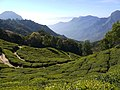 Kerala - tea plantations.jpg