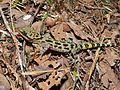 Kinabalu Bow-fingered Gecko (Cyrtodactylus baluensis) (6726175533).jpg