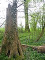 King's Wood near Ampthill - geograph.org.uk - 161427.jpg